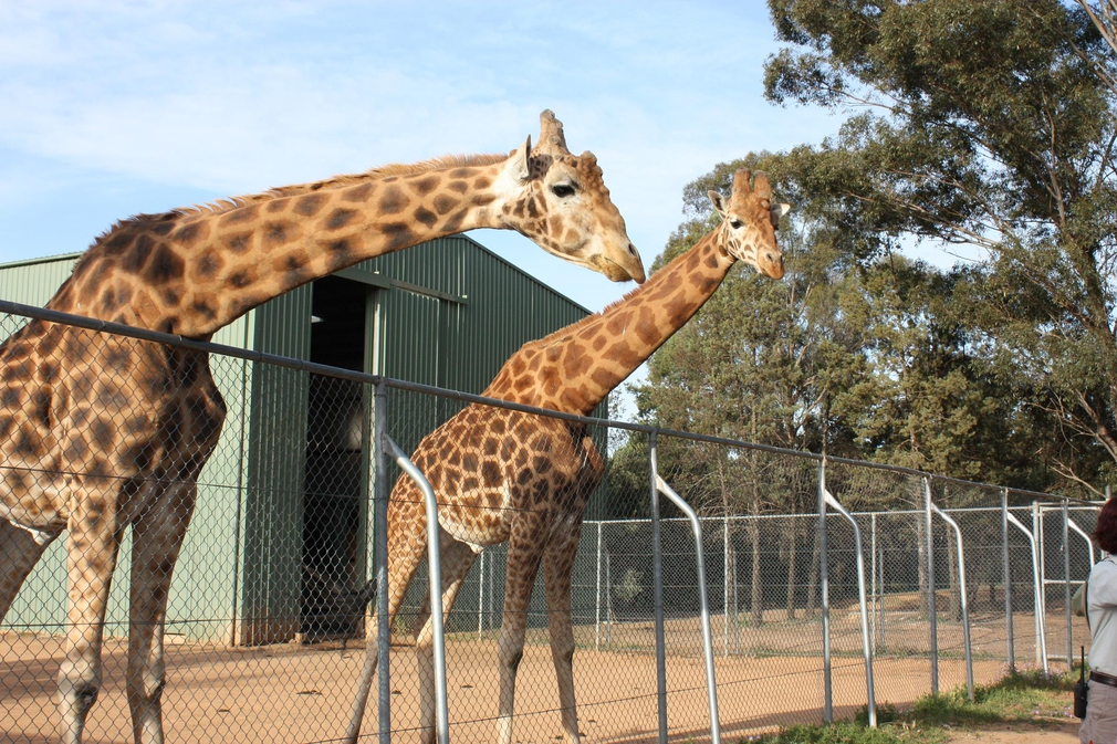 two giraffes looking over gate