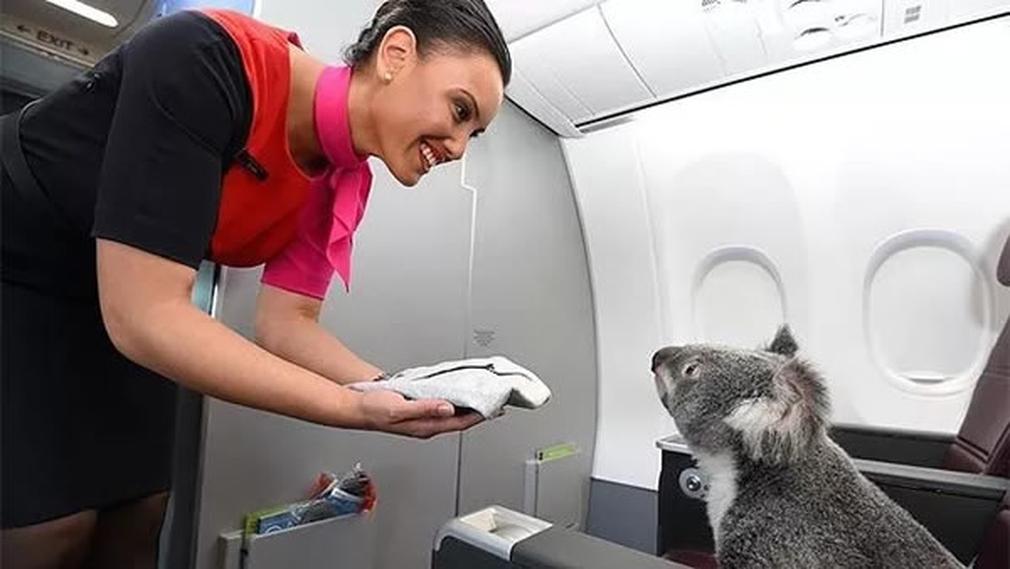 Koala on a plane